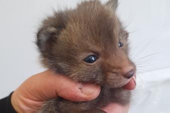 SOE: Kommt der Fuchs zum Doktor