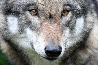 Wolf auf A 14 bei Roßwein überfahren
