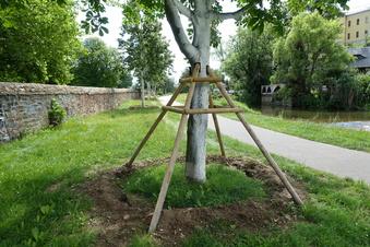 Großbäume werden in Döbeln umgesetzt