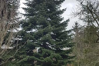 Ein Weihnachtsbaum aus Südbrandenburg