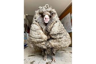Verirrtes Schaf von 35 Kilo Wolle befreit