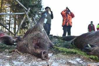 Schweinepest hat leichtes Spiel in Wäldern