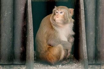 Entlaufener Affe aus Löbau jetzt in Görlitz unterwegs