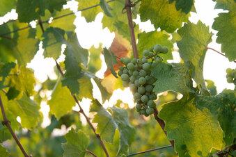 2020 ist ein verrücktes Weinjahr in Dresden