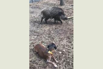 Können Moritzburger Schwarzkittel im Kampf gegen Schweinepest helfen?