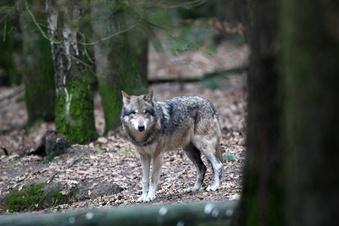 Woher kommt der überfahrene Wolf?