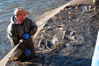 Koselitzer Teich wird abgefischt
