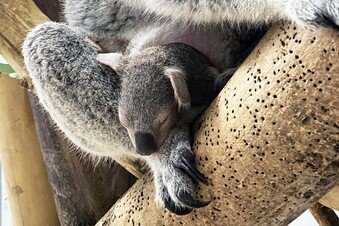 Leipziger Baby-Koala bald zu sehen
