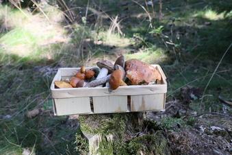 Viele Pilze in sächsischen Wäldern