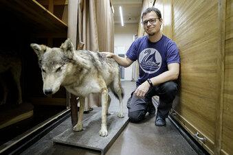 Den Wölfen auf der Spur