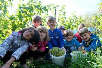 Radebeuler Kita-Kinder helfen bei der Weinlese
