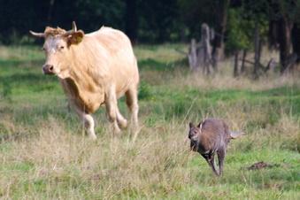 Känguru veranstaltet Wettrennen mit Kuh