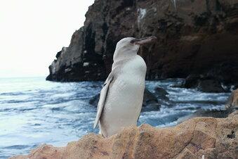 Weißer Pinguin auf Galapagos entdeckt