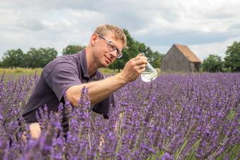 Lavendel-Ernte bei Niesky wie in der Provence