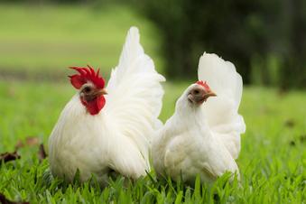 Ein Huhn im Kleingarten? Das ist nicht mehr so einfach