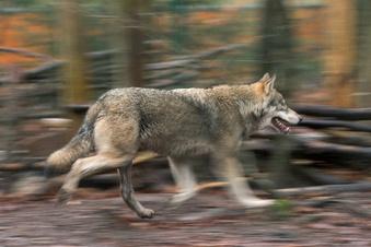 Wölfe töten zwei Schafe in Miltitz