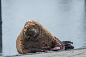 Walross betreibt wohl Insel-Hopping