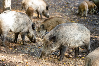 Muss das Wildgehege seine Schweine töten?