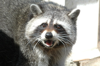 Jagdsaison: Waschbär nicht zu stoppen