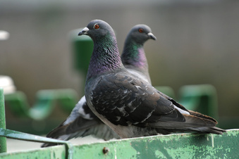 Immer wieder Ärger mit Taubenkot