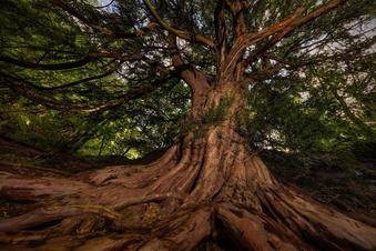 Wandern zwischen heiligen Bäumen