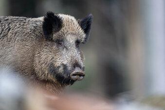 Döbeln: Angst vor der Schweinepest steigt