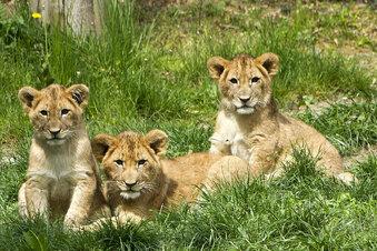 Wie sollen die Löwen heißen?