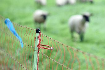 Wolf verletzt vier Schafe im Erzgebirge