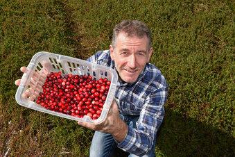 Die Cranberry-Ernte beginnt bald