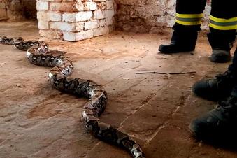 Ausgebüxte Würgeschlange in Keller gefunden