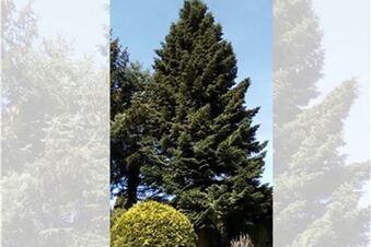Striezelmarktbaum wird gefällt