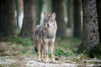 Wie sich der Wolf in Sachsen ausbreitet
