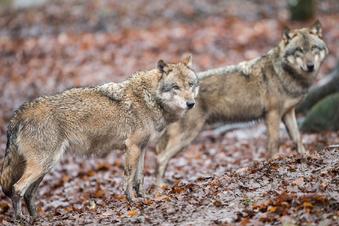 Wolfsrudel bei Elstra nachgewiesen