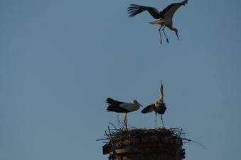 Störche bauen in Döbeln ein Nest
