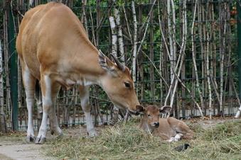 Nachwuchs bei den Bantengs im Dresdner Zoo