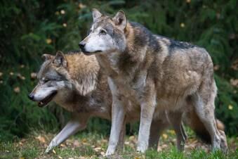 Jäger wollen Wölfe fangen