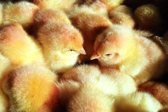 Küken-Rettung durch Blick ins Ei
