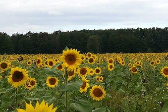 Mehr Sonnenblumen am Straßenrand