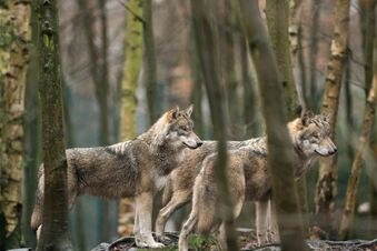 Der Wolf im Koalitionsvertrag