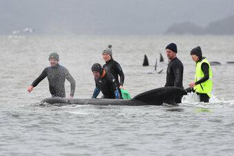 Australien: 380 gestrandete Wale sind tot