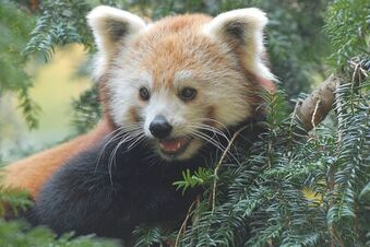 Panda-Dame Upendra verlässt Tierpark