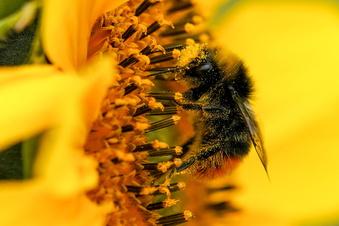 Hier fühlen sich Wildbienen wohl