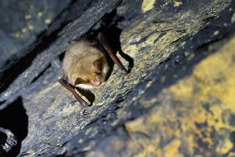 Südumfahrung Pirna: Fledermäuse im Tunnel