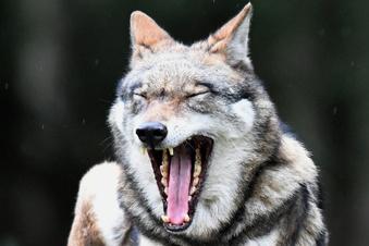 Hund tot aufgefunden: War es ein Wolf?