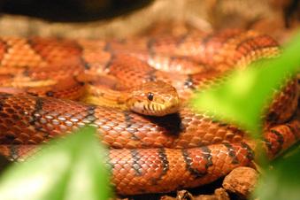 Schlangenalarm in Großschweidnitz