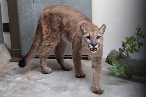Puma aus New Yorker Wohnung befreit