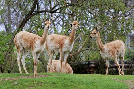 Familie und Kinder: Tier des Monats Mai: Vikunja