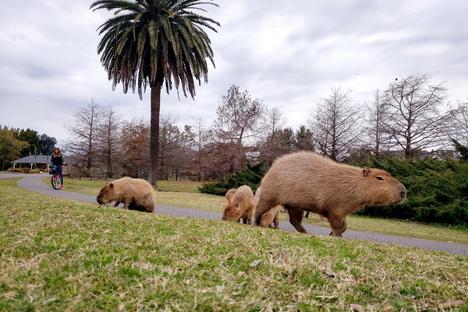 Invasion der Wasserschweine