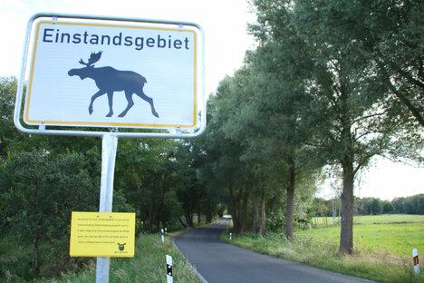 Vorsicht! Es ist Elchzeit in der Lausitz