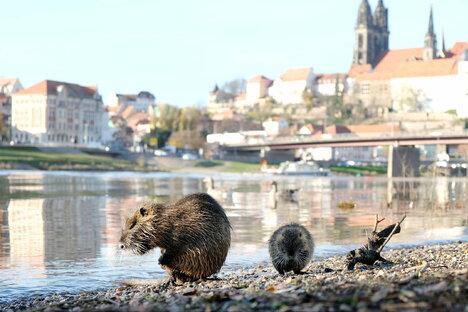 Meißen: Nutrias breiten sich an der Elbe aus